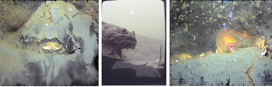"3 photos showing stills from video footage shot by ""wormcam"".  From left to right:  mud crab in its burrow; an Oyster Toad Fish (Opsanus tau) peering into Wormcam; a penaeid shrimp preying on a worm."